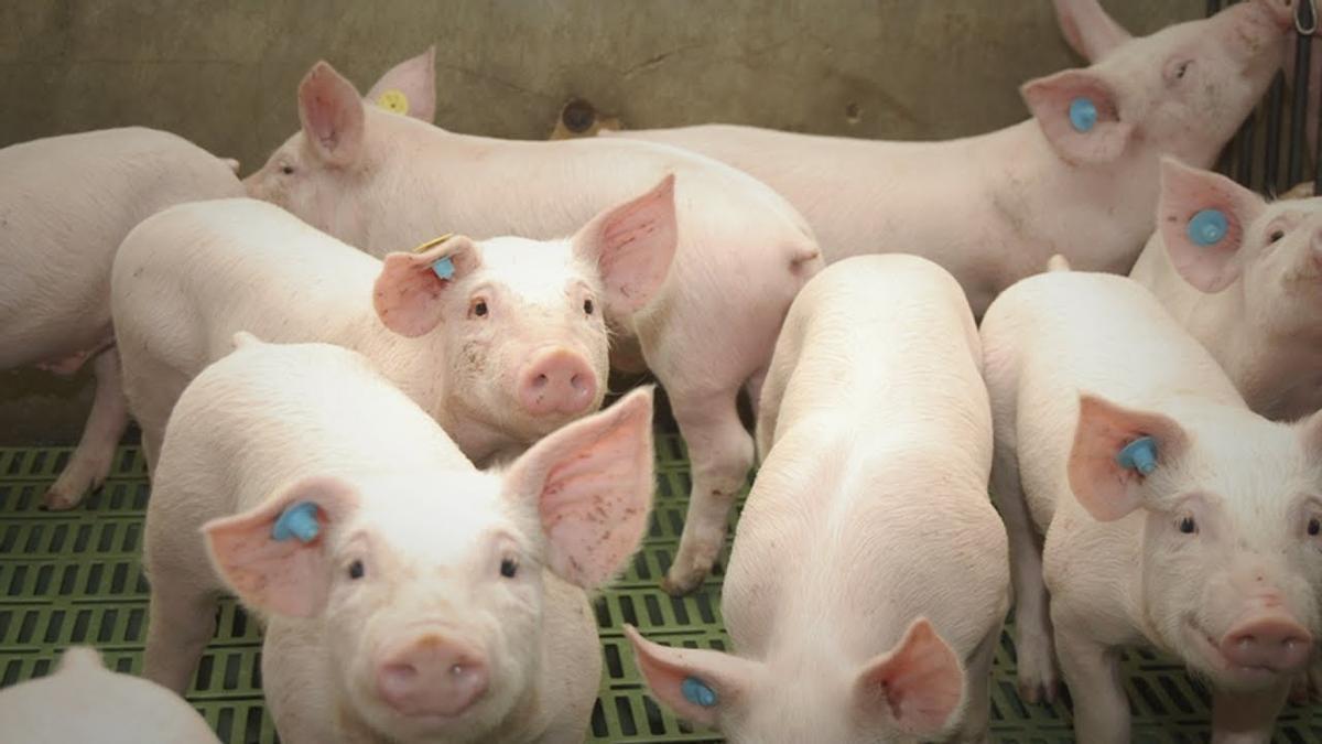Cerdos de una explotación porcina