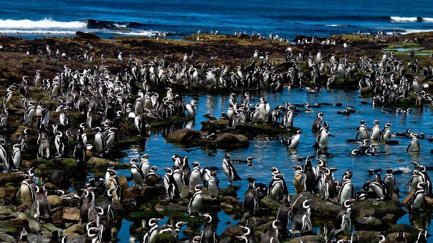 Pinguinera de Punta Tmbo, en la Patagonia argentina.
