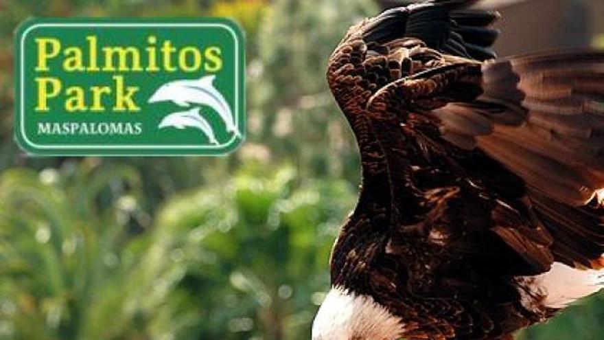 Águila de cabeza blanca en Los Palmitos Park.
