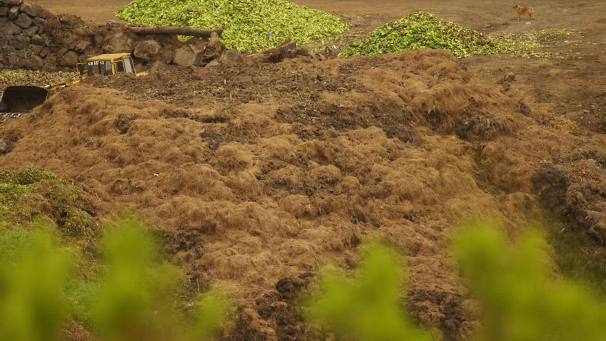 Restos de plátanos acumulados en montañas, en la finca denunciada por los ecologistas en Breña Alta