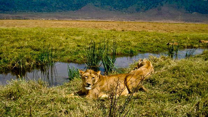 Unos 70 leones habitan hoy en el cráter del Ngorongoro. UNESCO