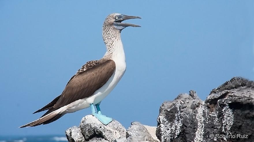Los Piqueros de patas azules son una de tantas y tantas especias de aves marinas de las Galápagos.