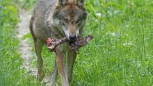 Un nuevo informe constata que la política del Gobierno de matar lobos para proteger rebaños no sirve para nada