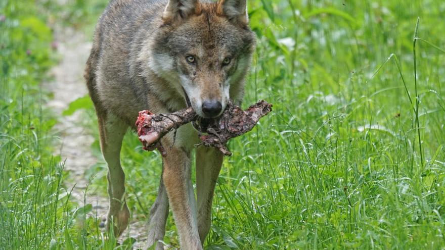 Lobo con una presa.
