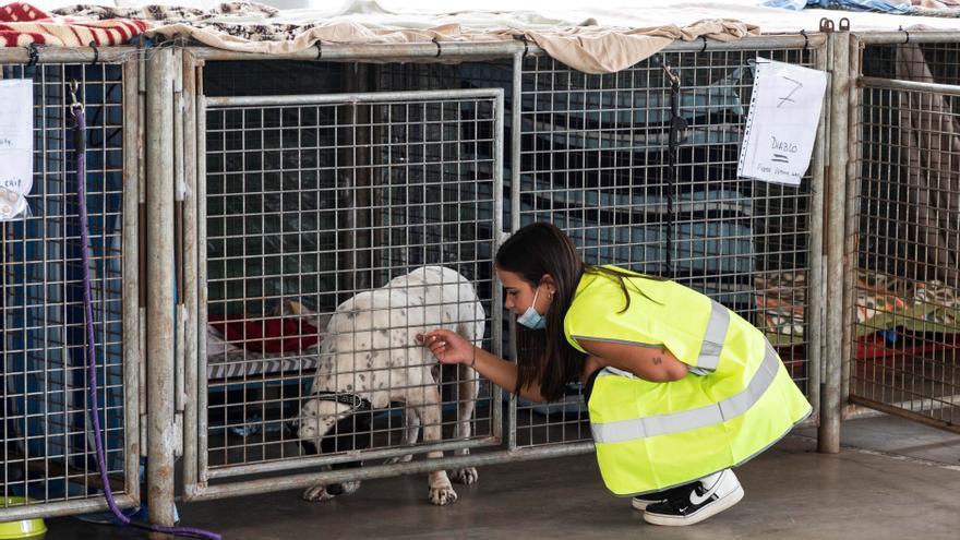 Benawara, la protectora que da auxilio a los animales afectados por el volcán