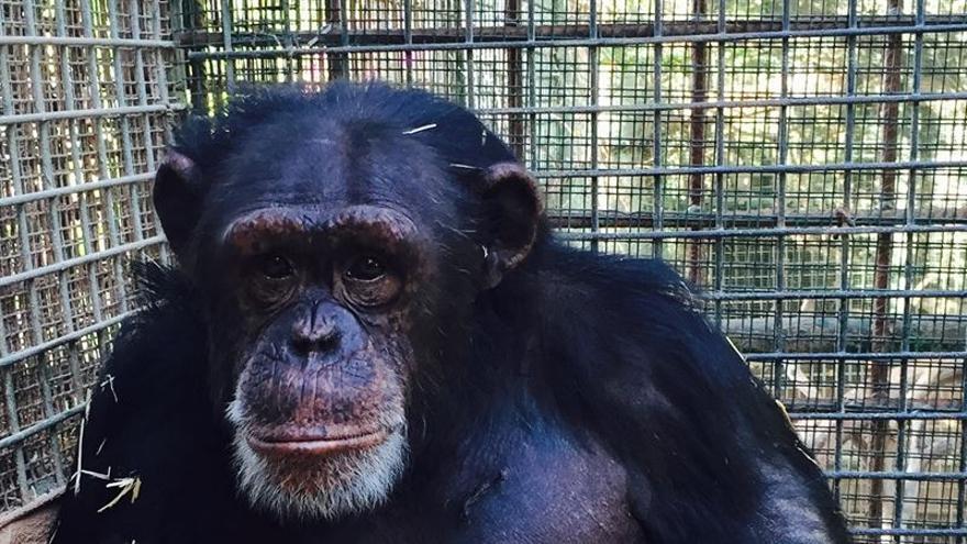 Imagen de uno de los chimpancés cedida por Oasis Park.