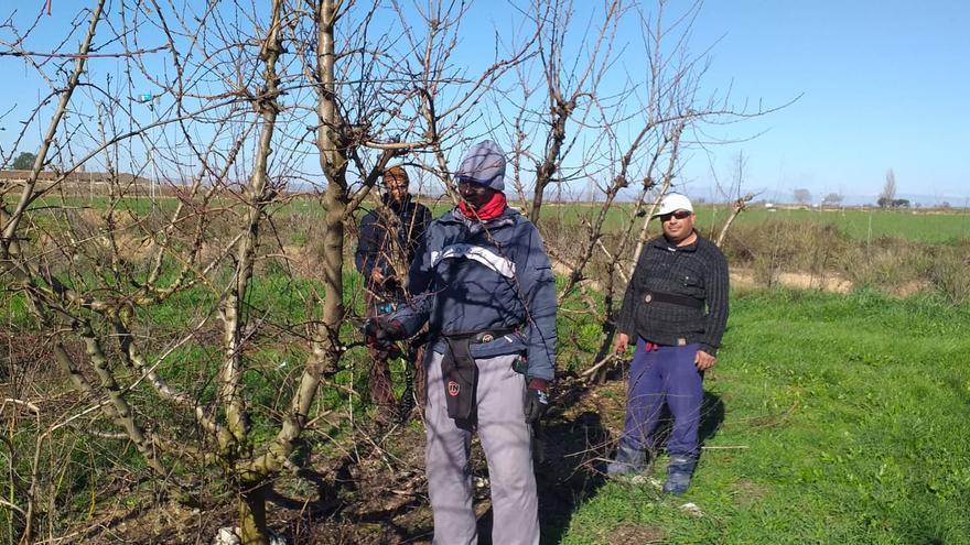 Amadu (Mauritania), Marin (Bulgaria) y Hamid (Marruecos), podando en Albalate de Cinca; aunque la recolección supone el pico de trabajo, los frutales exigen cuidados todo el año.