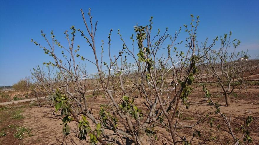 Les gelades han afectat fonamentalment a la fruita d'estiu de pinyol