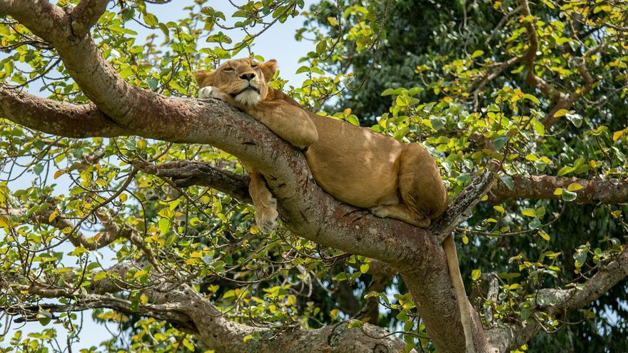 Leona en el Parque Nacional del Valle del Kidepo. Justin Raycraft (CC)