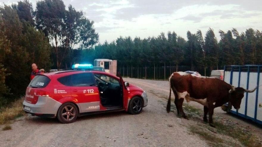 Localizadas tres vacas escapadas en Castejón
