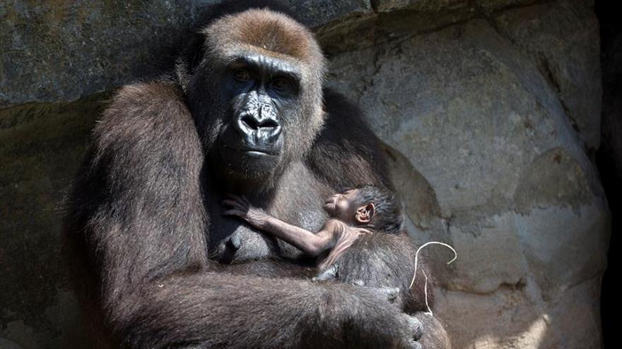 Los grandes simios se encuentran al borde de la extinción.