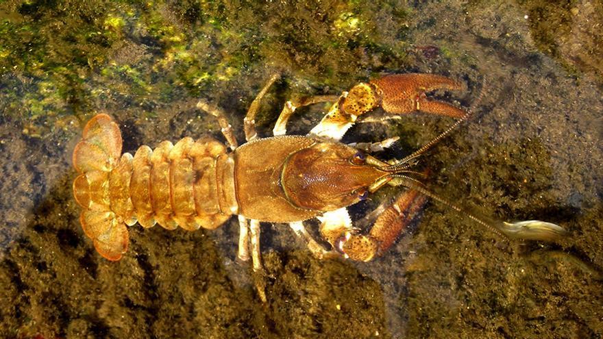 Ejemplar de cangrejo de río considerado autóctono. / CSIC