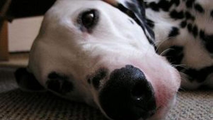 Un perro es capaz de detectar el cáncer de colon