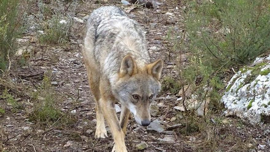 Nacen los primeros lobeznos en el Centro del Lobo Ibérico de Castilla y León