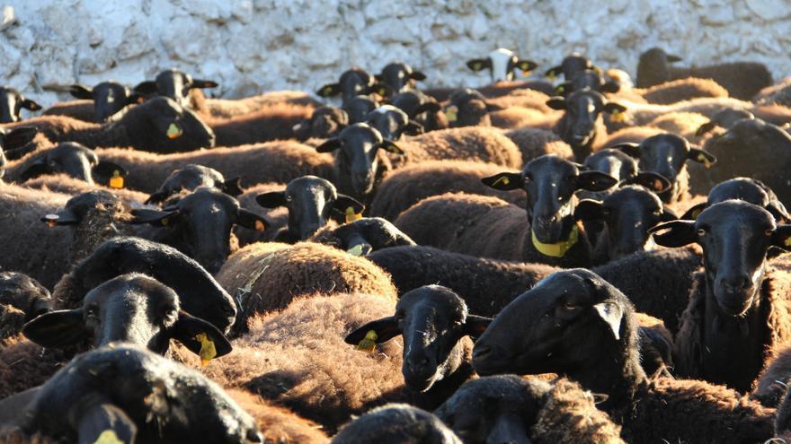 Rebaño de oveja manchega negra