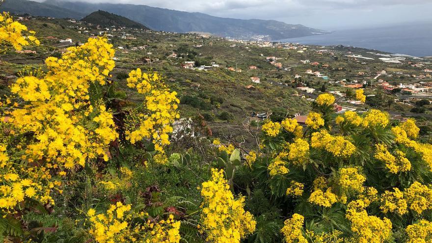 Cerraja palmera  (Sonchus palmensis) en plena floración, en el municipio de Mazo.
