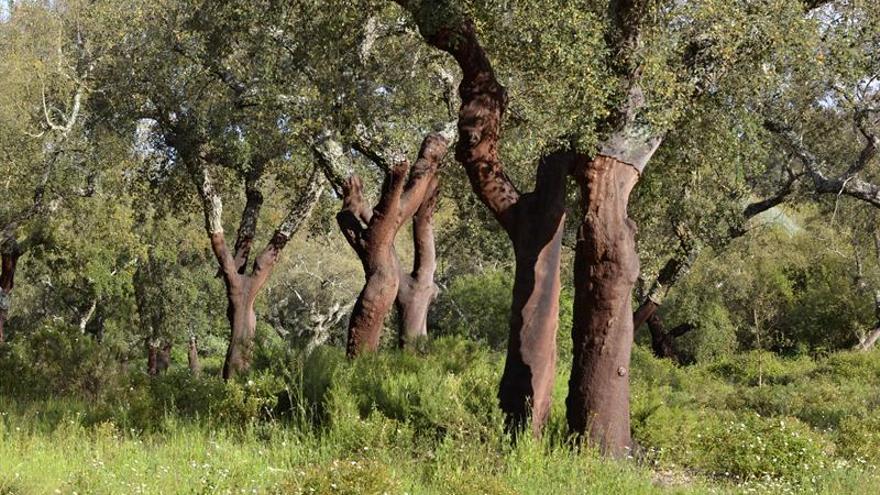 Alcornoque o pino piñonero, árboles que podrían frenar fuegos en Portugal