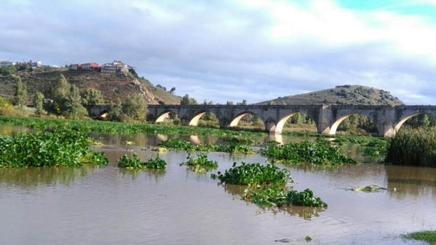 El camalote, junto al puente de Medellín / Plataforma SOS Guadiana