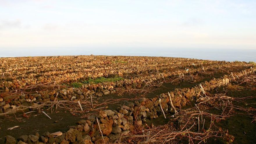En la imagen, un viñedo de La Palma.