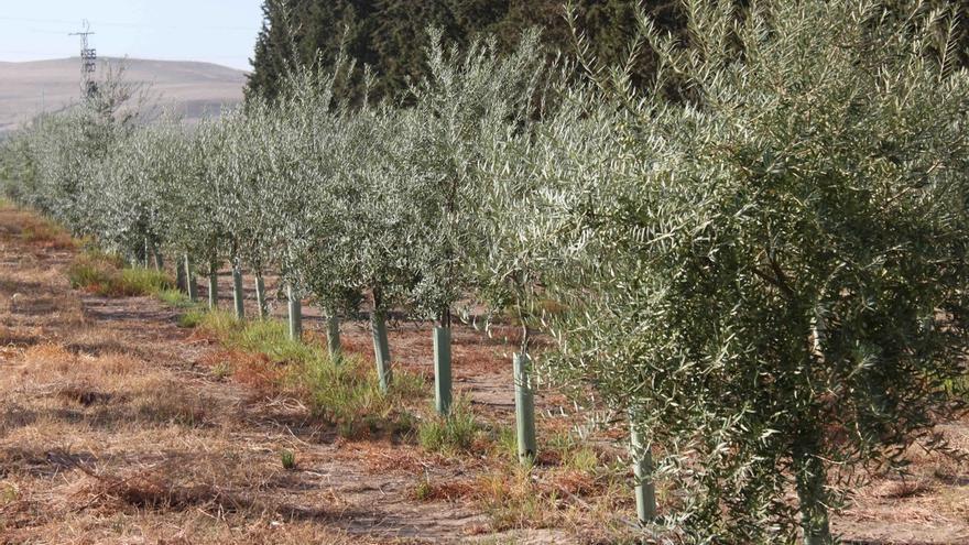 Identifican genes del olivo relacionados con el crecimiento que influyen en la mejora de la producción
