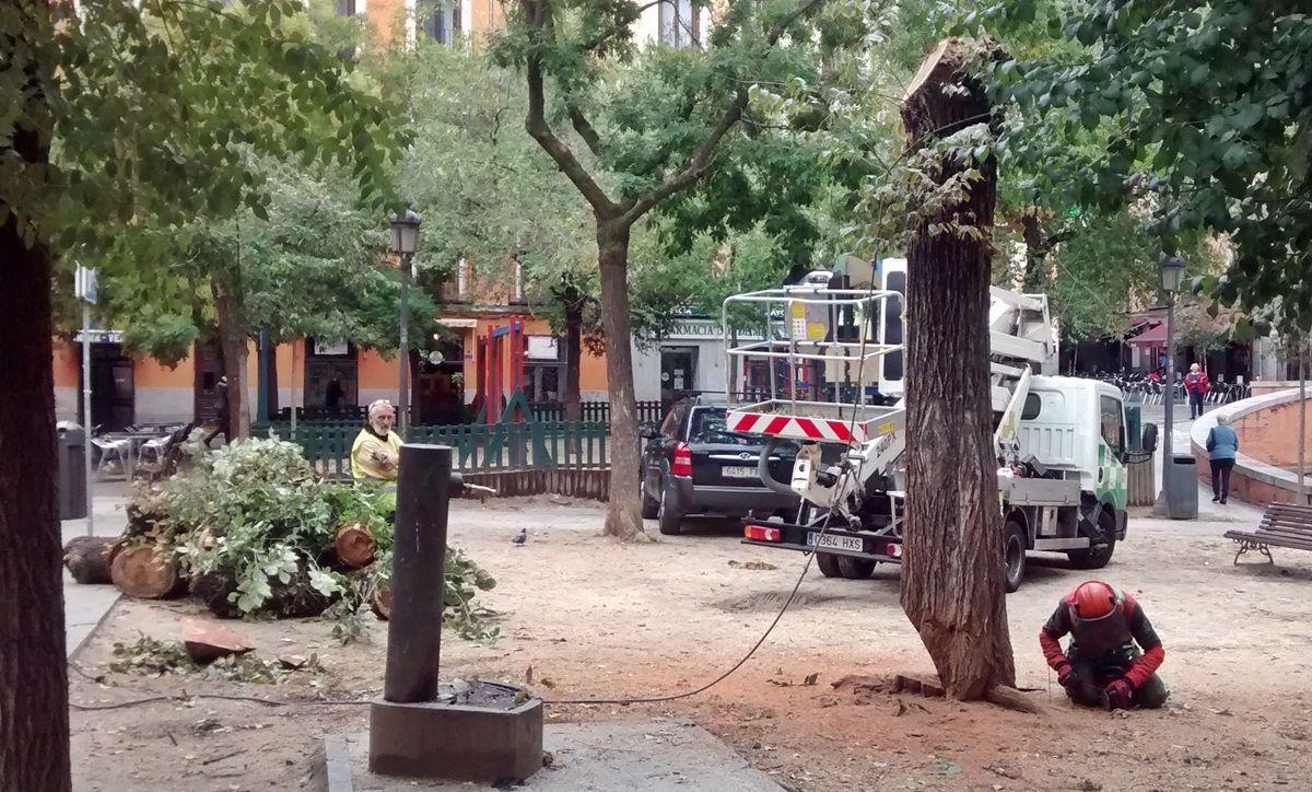 Operarios del Ayuntamiento talan un árbol en el Dos de Mayo | SOMOS MALASAÑA
