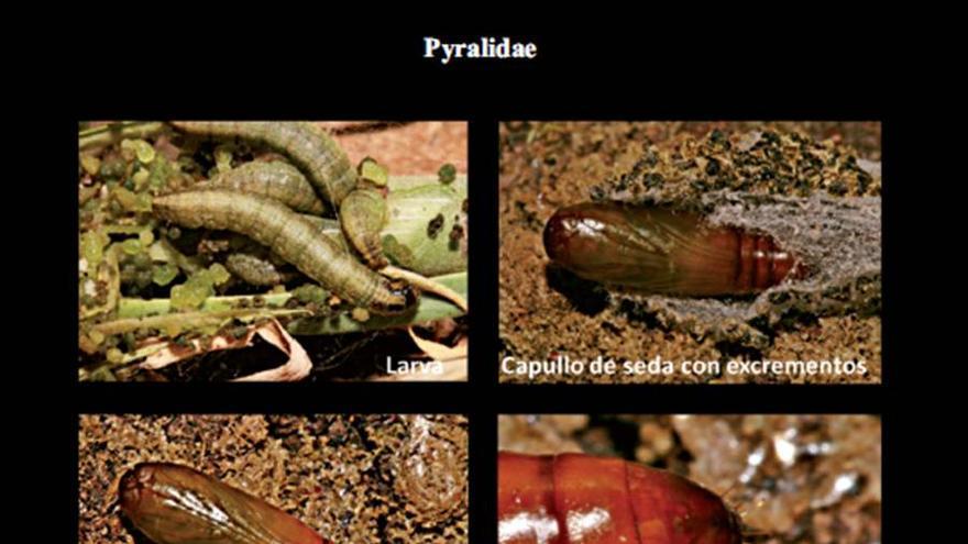 Ciclo biológico de la 'Denticera divisella'.