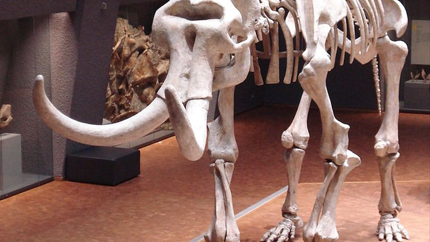Recreación combinada del mamut lanudo y de la estepa, en el museo 'Naturkundemuseum am Löwentor' de Alemania