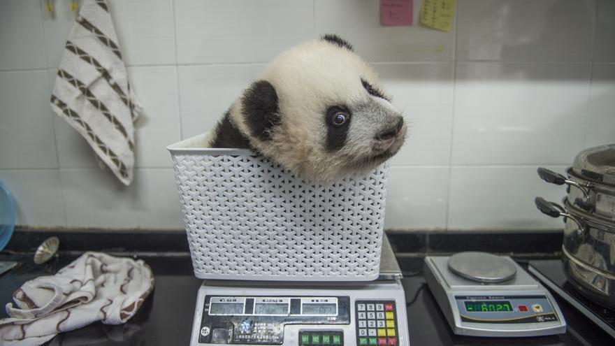 Una cría de panda en una báscula, fotografía candidata al 2017 Sony World Photography Awards // Ami Vitale