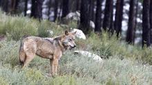 El lobo solitario
