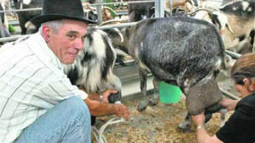 Ganaderos de Fuerteventura en el proceso de ordeño del ganado. EFE