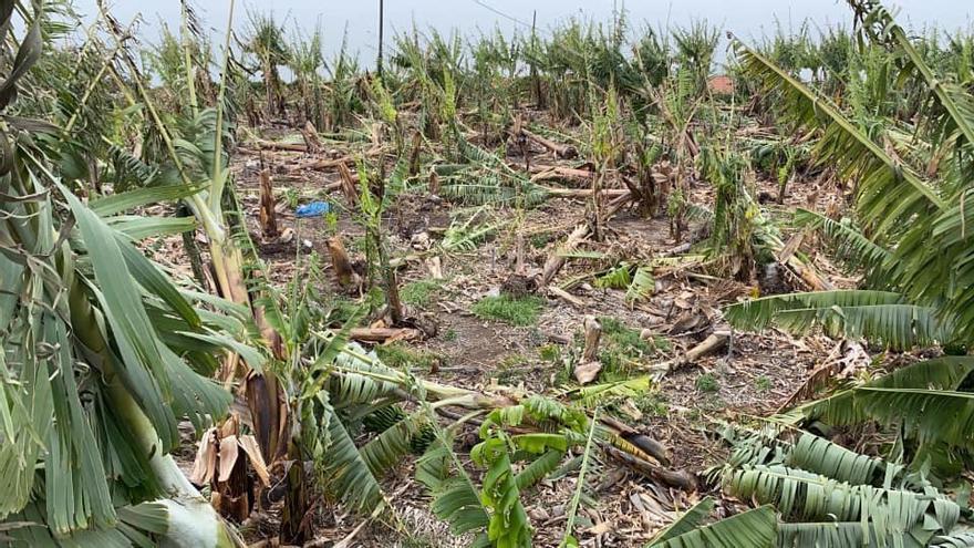 Plataneras tumbadas por el temporal de viento del pasado domingo en la zona oeste.