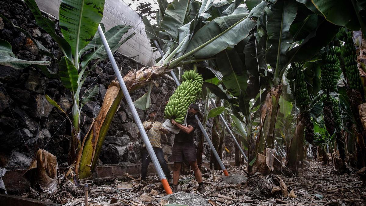 Dos agricultores llenos de ceniza intentan salvar sus plantaciones de plátanos de la erupción de La Palma
