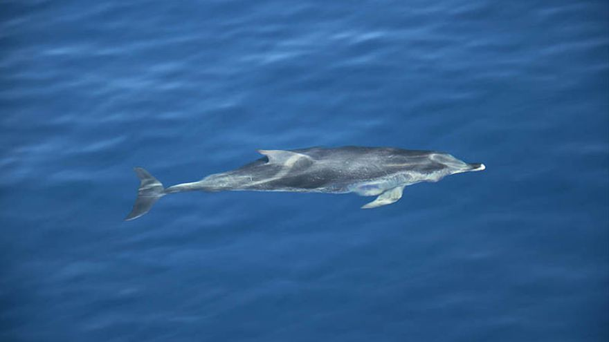 Dos grupos de delfines se pegan a la embarcación. (Felipe de la Cruz/Diario de Lanzarote).