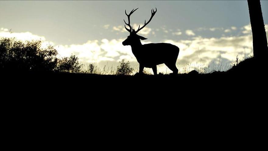 El ciervo ibérico, único rumiante que saca la lengua mientras berrea