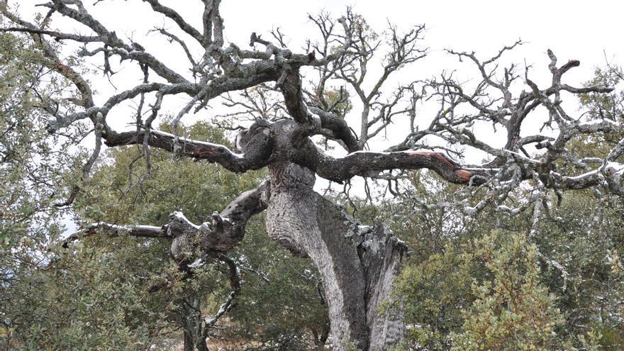 El cambio climático ha acelerado el deterioro de los bosques españoles en los dos últimos años  Encina-seca_EDIIMA20170329_0722_4