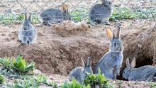Castilla-La Mancha autoriza la caza de conejos de monte en grupos de dos para evitar daños en cultivos