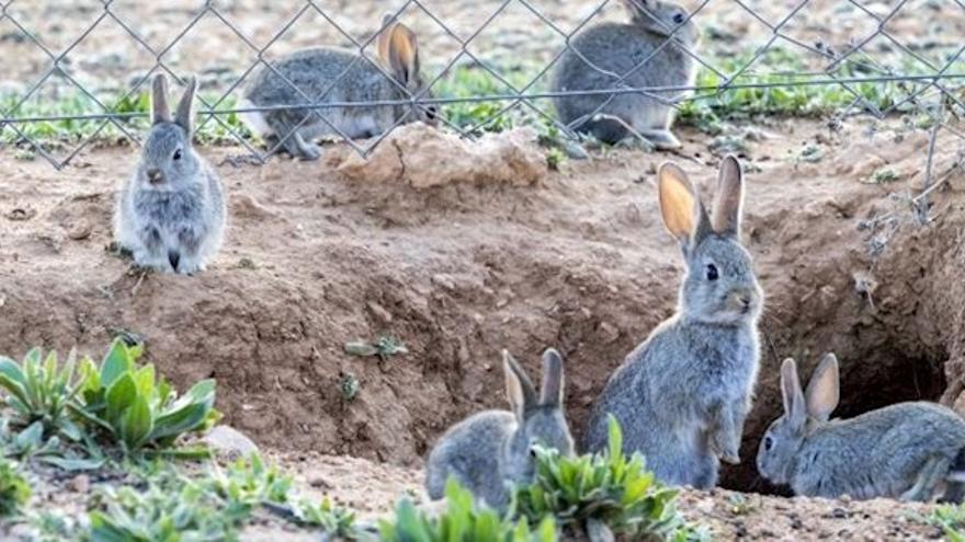 """El conejo en la """"encrucijada"""": ¿especie en peligro, plaga o víctima de la caza?"""