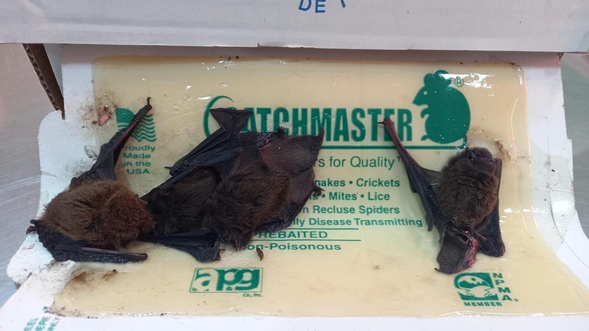Los tres ejemplares encontrados muertos en una trampa de pegamento para ratones