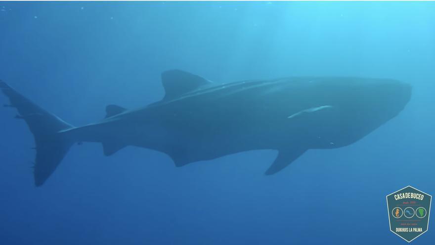 Captura del vídeo del tiburón ballena en la zona de Las Cabras de Fuencaliente.