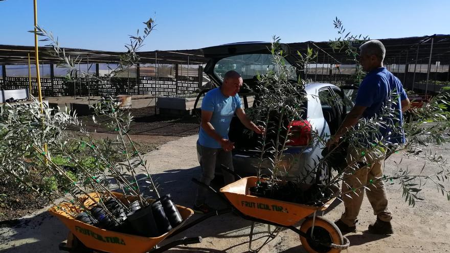 Olivos entregados por el Cabildo de Gran Canaria