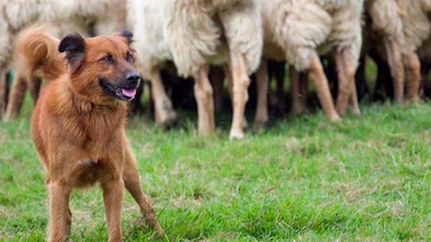 El perro pastor vasco, patrimonio en peligro de extinción