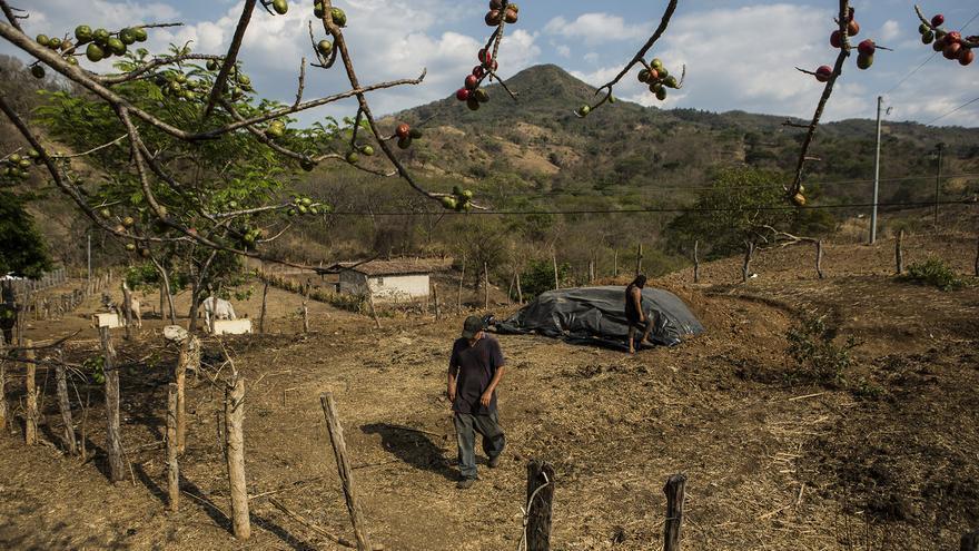 Aníbal regresa a su casa tras dar de comer a las vacas, de fondo un árbol de jocote