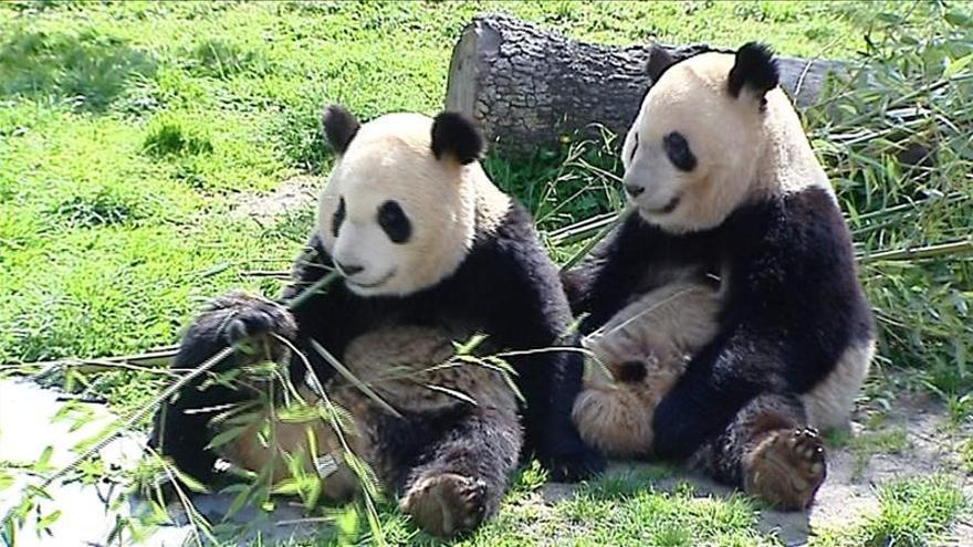Regalos, bailes y una tarta helada de bambú despedirán a osos panda