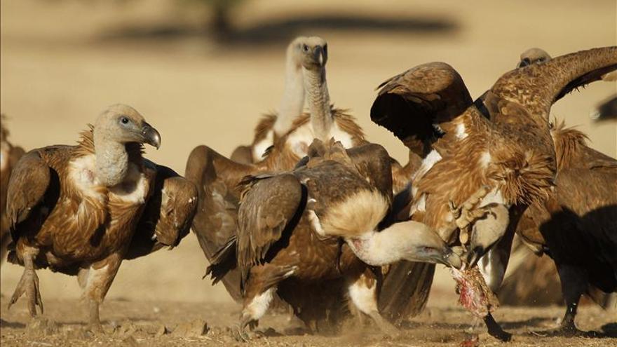 Denuncian tres ataques de buitres a ganado en Puebla de Don Rodrigo (Ciudad Real)