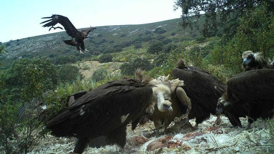 Un grupo de buitres se alimenta en el muladar de Monfragüe / Ángel Luis Sánchez-Junta de Extremadura