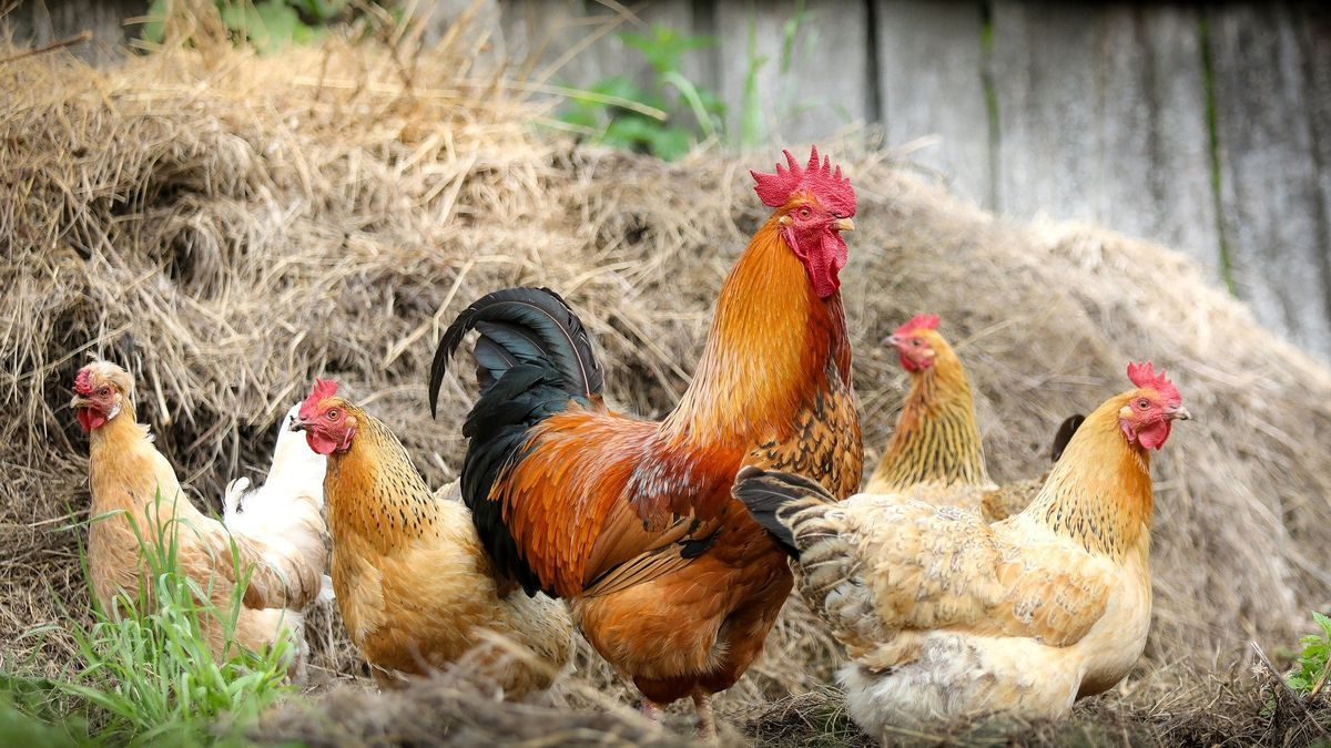 Explotación avícola
