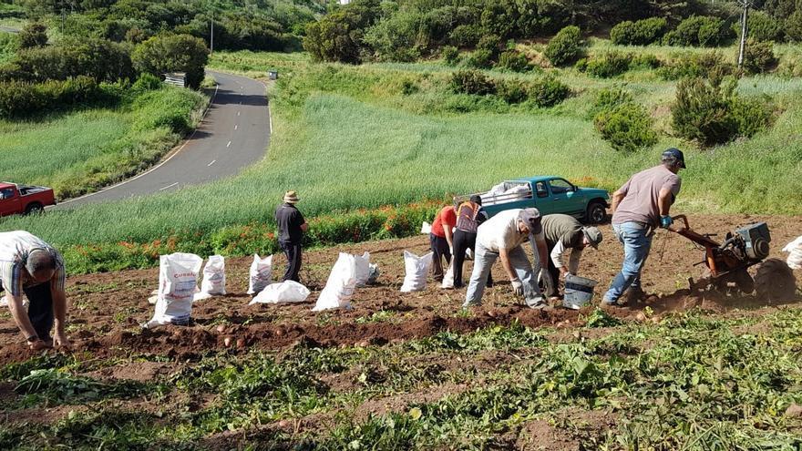El Gobierno de Canarias abona 3,3 millones a los productores de papa de mesa