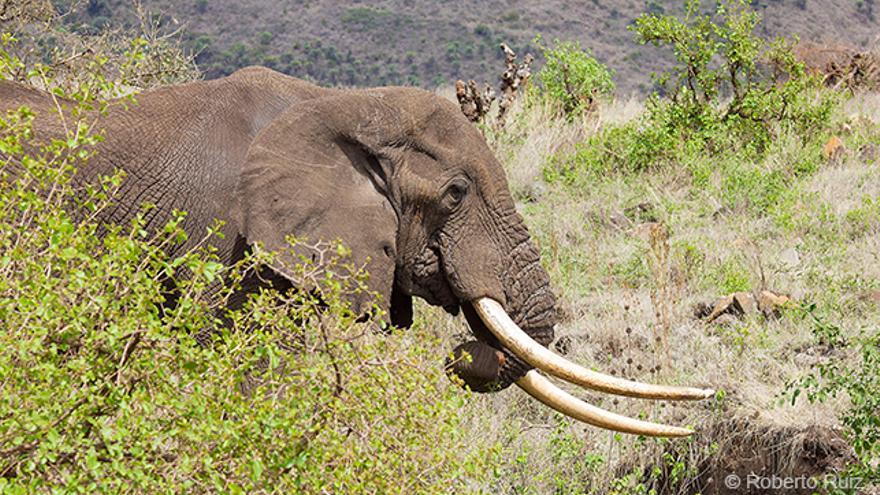 Ngorongoro, Tanzania, elefante