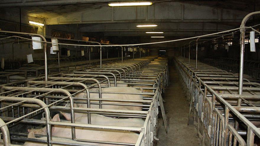 Granja industrial de cerdos, donde los animales apenas pueden moverse. Foto: Igualdad Animal