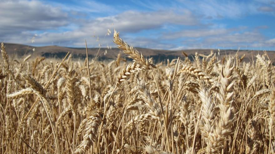 """El cambio climático provoca variaciones en los cultivos de cereales con """"consecuencias marcadas"""""""